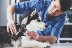 Veterinären undersöker ett gulligt siberian skrovligt på sjukhuset royaltyfria bilder