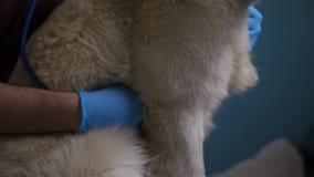 Veterinärhänder med stetoskopet som kontrollerar hjärta för hund` s arkivfilmer