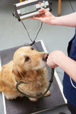 Veterinärkrankenschwester-Weighing Dog In-Chirurgie Stockfotografie
