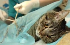 Veterinärs kontor, kirurgisk operation av katten Royaltyfria Foton