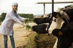 Veterinärtechniker, der mit Kühen im Bauernhof mit Viehhaltung arbeitet Stockbilder
