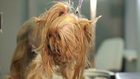Veterin?r som klipper en yorkshire terrier med en h?rclipper i en veterin?rklinik stock video