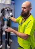 Veterin?rberatung, Tierarzt, der einen Windhund kontrolliert stockbilder