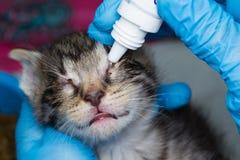 Veterin?ren som ger medicinska droppar i ?gonen av en kattunge med bindhinneinflammation royaltyfria foton