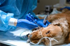 Veterin?rzahnheilkunde Zahnarztchirurgtierarzt behandelt und entfernt die Z?hne eines Hundes unter An?sthesie auf dem Operationst lizenzfreie stockfotografie