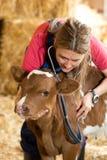 Veterinair op een landbouwbedrijf Stock Afbeeldingen