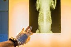 Veterinaire arts die huisdierenröntgenfoto onderzoeken Royalty-vrije Stock Fotografie