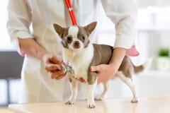 Veterinaire arts die stethoscoop met behulp van tijdens onderzoek in veterinaire kliniek Hondterriër in veterinaire kliniek stock afbeelding