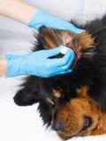 Veterinaire artsen druipende geneeskunde in de oren van een zieke hond De behandelingshonden hebben de dierenarts stock fotografie