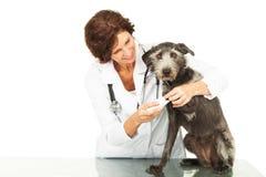 Veterinaire Caring For Injured-Hond stock foto