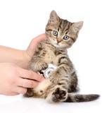 Veterinaire hand die een Schots katje onderzoeken Geïsoleerd op wit royalty-vrije stock foto's