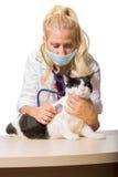 Veterinaire makende controle van kat Stock Afbeelding