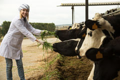 Veterinaire technicus die met koeien in veelandbouwbedrijf werken Stock Afbeeldingen