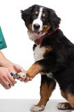 Veterinanian cutting dog nails Royalty Free Stock Photo
