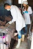 Veterinari della donna e dell'uomo sull'azienda agricola di maiali Fotografia Stock