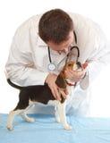veterinarian щенка доктора beagle Стоковая Фотография