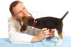 veterinarian щенка доктора beagle Стоковое Фото