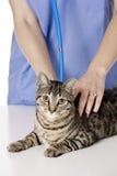 Beautiful Caucasian woman Veterinarian examining a kitten Royalty Free Stock Image