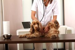 Veterinarian. Little dog at the Veterinarian royalty free stock photos