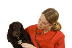 Veterinarian. Female vet in blue scrubs with a black dog Stock Photo
