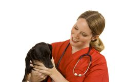 Veterinarian. Female vet in blue scrubs with a black dog Royalty Free Stock Image