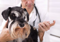 Veterinarian applying injection to a dog Royalty Free Stock Photography