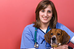 veterinarian beagle Стоковое фото RF