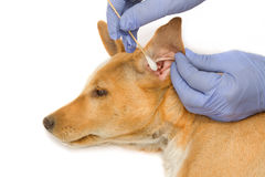 Veterinarian check and cleans ears to a dog Stock Photos