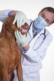 Veterinarian checking dogs teeth Royalty Free Stock Photography