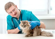 Veterinarian making regular check up of a cat at veterinary office. Veterinarian checking up grey cat at veterinary office. Veterinary doctor regular check-up stock images