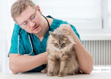 Veterinarian making regular check up of a cat at veterinary office. Veterinarian checking up grey cat at veterinary office. Veterinary doctor regular check-up stock image