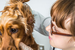Veterinarian checks ears to a dog. Animal and pet veterinary care concept Stock Image