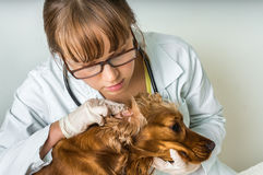 Veterinarian checks ears to a dog. Animal and pet veterinary care concept Royalty Free Stock Photography
