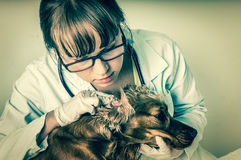Veterinarian checks ears to a dog - retro style. Veterinarian checks ears to a dog - animal and pet veterinary care concept - retro style Royalty Free Stock Images