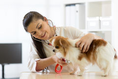 Veterinarian checks the health of a dog, that is on the table Stock Photography