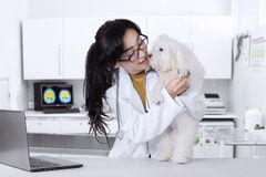 Veterinarian checks the maltese dog cleanliness. Attractive young veterinarian with long hair, working in the clinic and checks the maltese dog cleanliness royalty free stock images