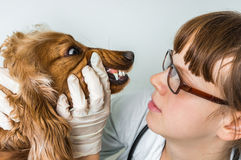Veterinarian checks teeth to a dog. Animal and pet veterinary care concept Royalty Free Stock Photo