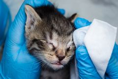 The veterinarian cleaning the kittens infected eyes with special wipes. The veterinarian cleaning the kittens infected eyes with  wipes royalty free stock images