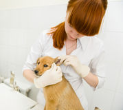 Veterinarian cleans ears dog. In clinic Stock Images