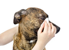 Veterinarian cleans eyes to a dog. isolated on white background Royalty Free Stock Photos