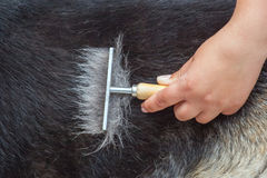 Veterinarian combs a German shepherd dog with a metal comb. royalty free stock photo