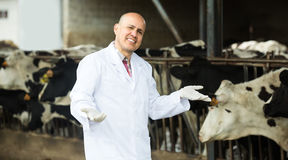Veterinarian with cows in livestock farm. Mature veterinarian in white overall standing near cows in farm and smiling Stock Photography