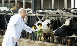 Veterinarian with cows in livestock farm Royalty Free Stock Photo