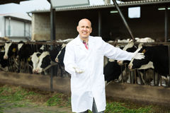 Veterinarian with cows in livestock farm Stock Images