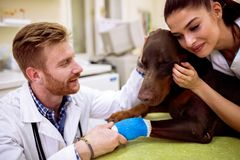 Veterinarian cuddle and comfort there patient, dog with sick leg Royalty Free Stock Image