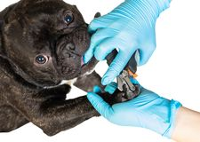 Veterinarian cuts the dog`s claws Stock Photography