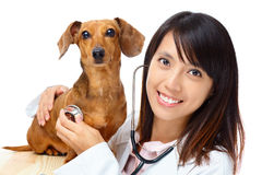 Veterinarian with dachshund dog Royalty Free Stock Image
