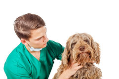Veterinarian doctor. Handsome veterinarian doctor examining a puli dog Stock Photography