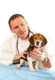 Veterinarian doctor and a beagle puppy Stock Image