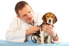 Veterinarian doctor and a beagle puppy Stock Photo